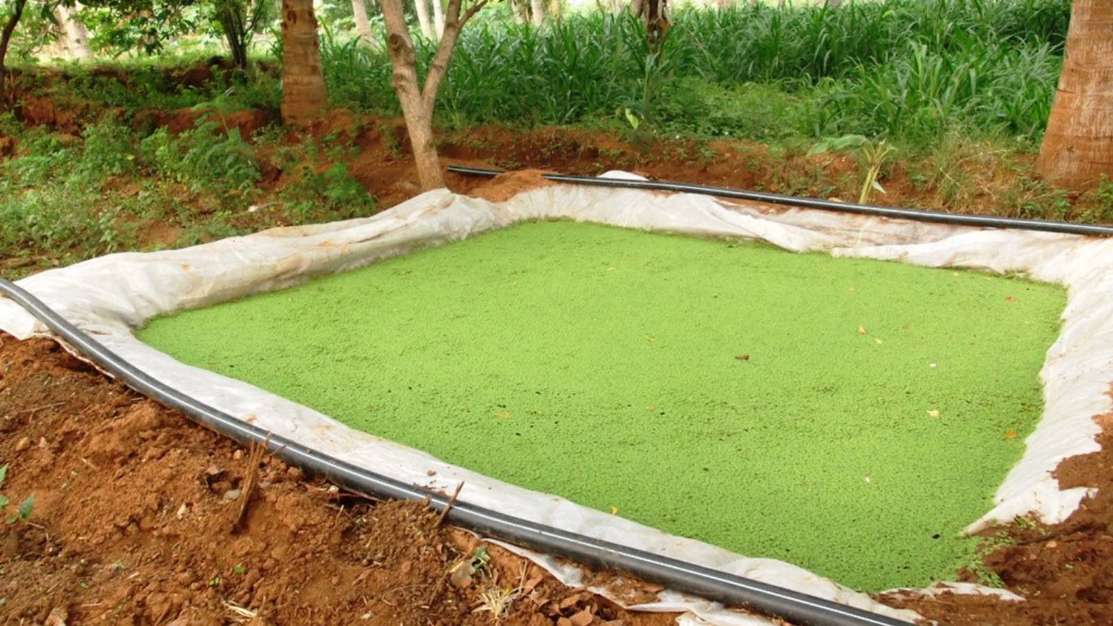 Cultivation of Azolla as Nutrion for Animals