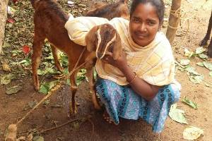 Goat Farming Livelihood Programme for 50 Rural Women in Kanakapura Taluk, Ramanagara district, Karnataka state