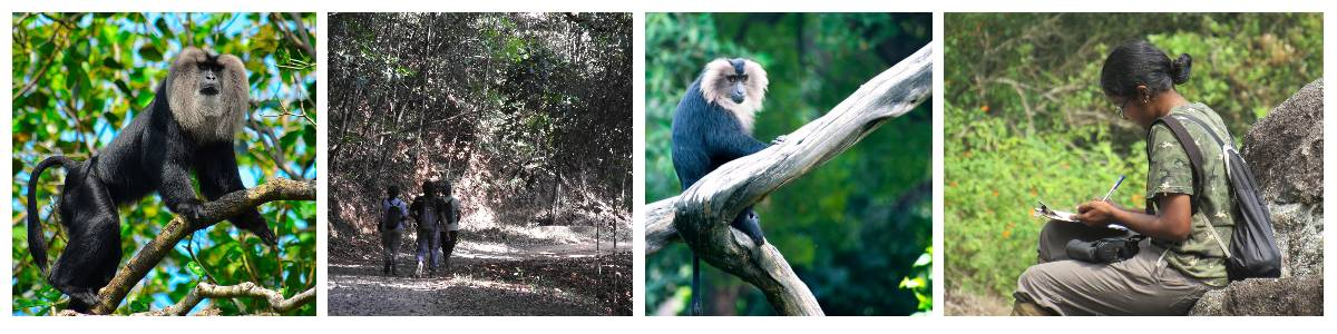 On the trail of lion-tailed macaques — acrobats of the Western Ghats