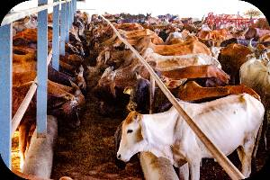 Support 18000+ Stray and Destitute Desi Cows